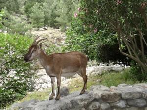 A wild mountain goat / kreta bergen vakantie zonvakantie