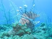 Lionfish griekenland spotten tijdens je zonvakantie duiken en snorkelen